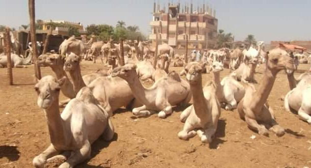 السعودية تطرد آلاف الابل والاغنام القطرية من اراضيها