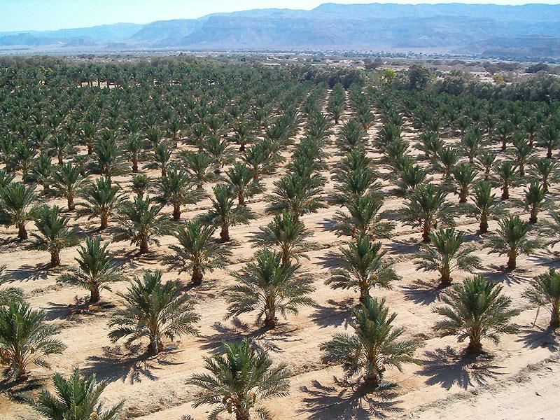 الزراعة: تصدير 34 ألف شتلة فاكهة و4500 فسيلة نخيل
