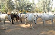 محطة الزهراء للخيول تتجمل إستعدادا لمهرجان الخيول العربية
