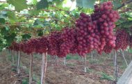 الزراعة تصدر أهم التوصيات للنهوض بإنتاج العنب خلال شهر يونيه