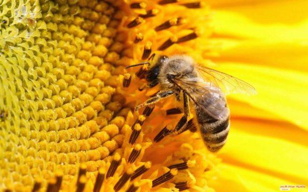 تقرير دولي عن النحل: فوائد غير مسبوقة للإنتاج الزراعي ومخاطر تهدد غذاء العالم بسبب المبيدات