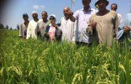 معهد المحاصيل يقترح زراعة مليون فدان أرز بالسودان، و 5 حلول لتغطية احتياجات الاستهلاك من المحصول