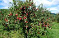 دراسة تكشف أسباب أهمية تناول تفاحة يوميا لحماية الجهاز الهضمي