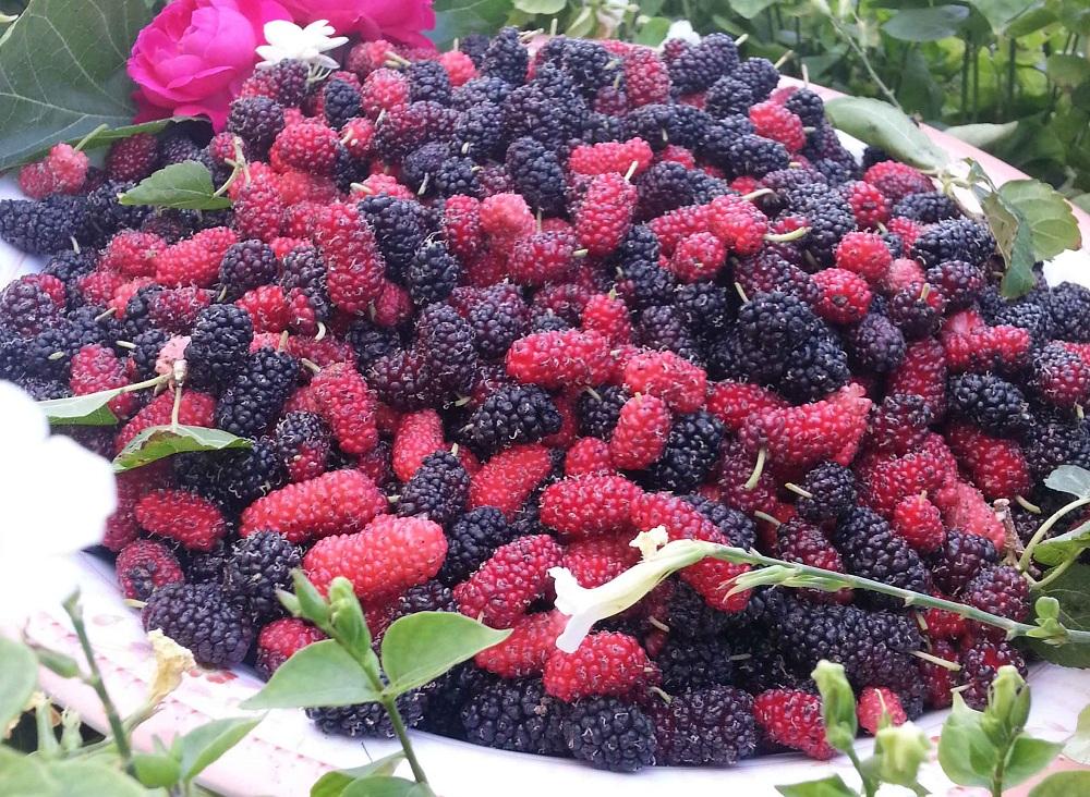 التوت ... الفاكهة المقدسة تحمي من 100 مرض   Agri2day / اجري توداي
