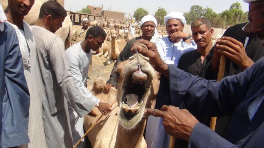 تعرف علي خطة مصر للوقاية من مرض حمي الوادي المتصدع