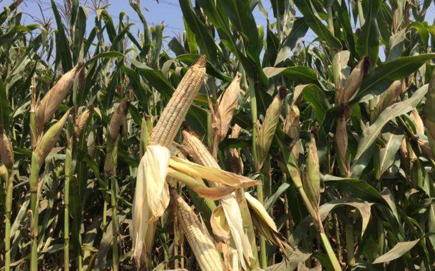 عاجل... بدء إستلام الذرة من المزارعين.... ومخاوف من تأثير الجودة علي توريد المحصول لإتحاد منتجي الدواجن