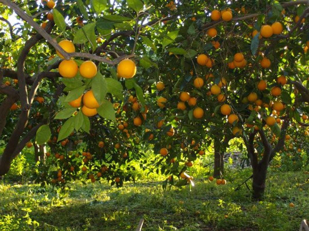 قبل أن تزرع أشجار الفاكهة....تعرف علي المسافة بين شتلات كل صنف