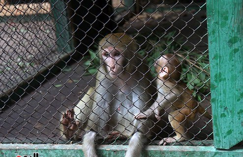 جديد ... حديقة الحيوان تحتفل بالزوار بعروض للشمبانزى والنسانيس والقرد جمعه