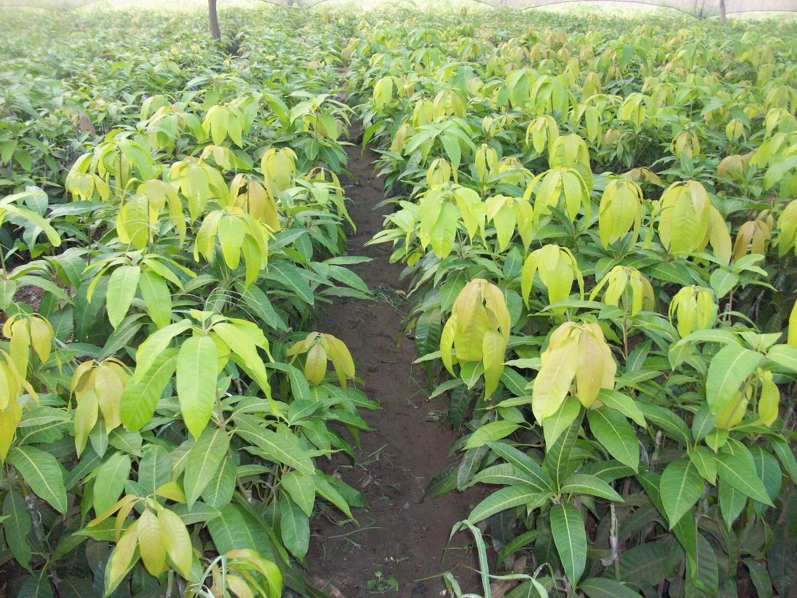 الزراعة توافق علي تصدير 2130 شتلة فاكهة لدول الخليج والمغرب والاردن