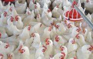 الحكومة تعتمد 17 إجراء جديد لمواجهة انفلونزا الطيور