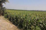 الحكومة تحدد 53 صنفا من الارز والقمح والفول للسماح بتداولها ... تعرف عليها