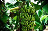 الزراعة تنشر التوصيات الفنية لمزارع الموز (شهر يناير)