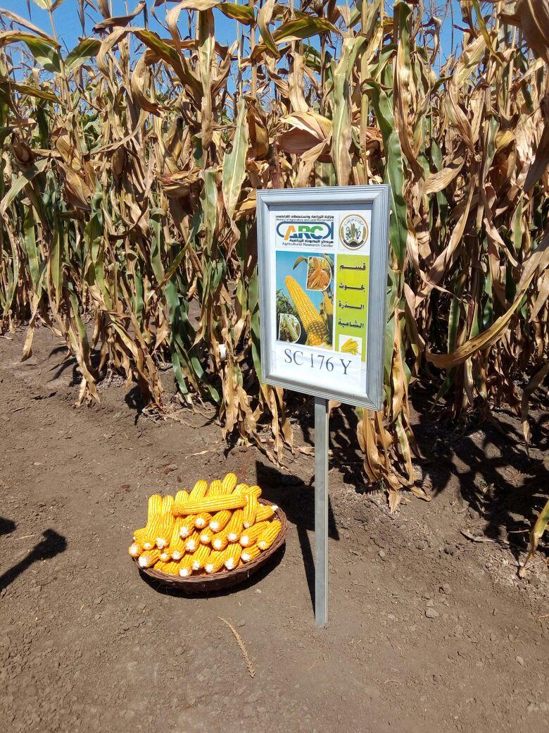 الزراعة: برامج للنهوض بزراعة الذرة الصفراء
