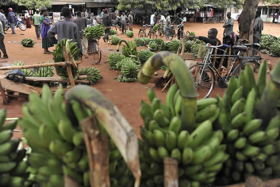 فاو : برنامج عالمي لاحتواء تهديد خطير لإنتاج الموز في العالم