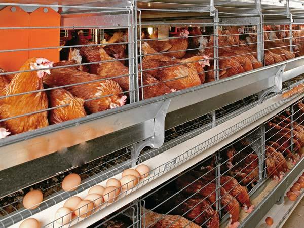 انخفاض في أسعار الدواجن والبيض اليوم .. تعرف على الاسعار