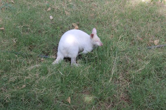 لأول مرة.. حديقة حيوان الجيزة تستقبل الكنغر الأبيض الملقب بـ