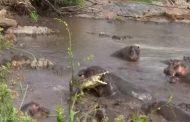 30 حيوان يطردون تمساح  حاول دخول