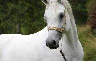 عاجل ...صدمة جديدة في محطة الزهراء للخيول ....وفاة انثي الحصان «حسن الطالع» بعد 10 ايام من نفوق «تجويد»