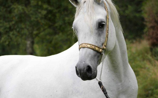 ما هو تصنيف أفضل الخيول في العالم؟