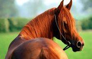 كيف فرت الخيول عقب إنهيار سد مأرب فكونت 5 اصول عربية؟