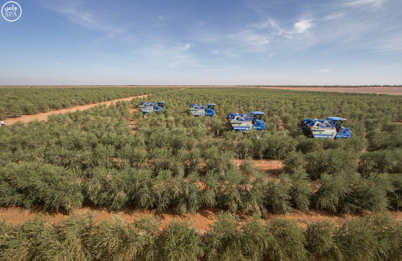الجمعة...إلاعلان عن مشروع أسباني لزراعة الزيتون في سيوه