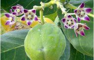 شجرة الجن ... تعالج 50 مرضا بشريا ومصدرا للمبيدات ومكافحة الآفات