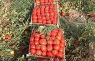 الطماطم تعاود الارتفاع وتراجع أسعار البطاطس والبصل