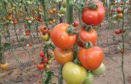 تعرف...أصناف الطماطم المعتمدة ذات الانتاجية المرتفعة