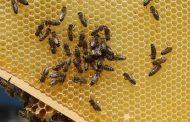 دراسة سويسرية: 75 % من عسل النحل في العالم به مبيد حشري