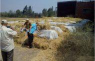 البيئة:تدوير 1100 طن قش أرز لسماد عضوي وأعلاف بالبحيرة والمنصورة