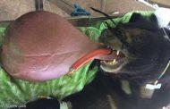 غرائب كونية...الحيوان صاحب اللسان الضخم في ميانمار يثير حيرة الأطباء