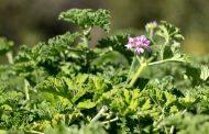 نبات العتر... معجزة تنتج أغلي أنواع العطور ومستحضرات التجميل