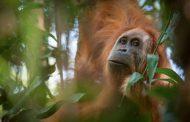 إكتشاف فصيل جديد من قردة إنسان الغاب في إندونيسيا