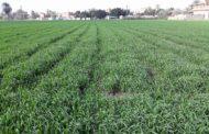 تقرير: ارتفاع المساحات المنزرعة قمح لـ3 ملايين و115 ألف فدان وجارى الحصر