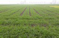 تقرير رسمي: زراعة 3 ملايين و11 ألف فدان بالقمح... وإستنباط أصناف أقل إستهلاكا للمياه