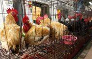 الخدمات البيطرية : تحصين 2.889 مليون رأس طائر ضد مرض أنفلونزا الطيور