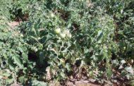 الزراعة : 3 إجراءات لمزارعي الخضر يجب اتباعها لمواجهة الصقيع