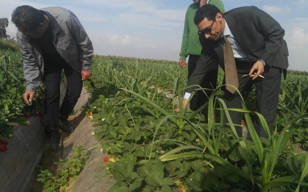 نصائح لحماية الفراولة من إرتفاع درجات الحرارة والتقلبات المناخية