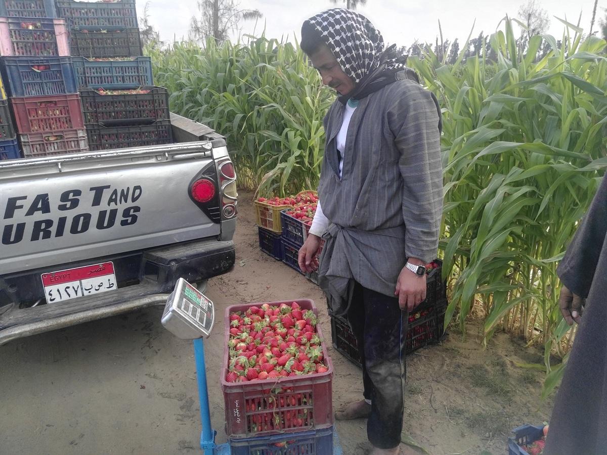 خبير زراعي: مصر تحتل المركز الرابع عالميًا في زراعة الفراولة