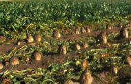 تعرف علي رأي مجلس المحاصيل السكرية حول تصدير