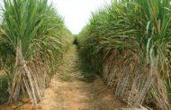 الزراعة تعتمد علي المكافحة الطبيعية لآفات قصب السكر في مساحة 150 ألف فدان