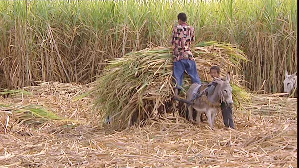 نقيب الفلاحين يطالب بتدخل وزارة الزراعة لإنقاذ قصب السكر من أخطر آفة تهدد المحصول