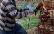 الزراعة تبدأ تطبيق تقنيات جديدة لمكافحة سوسة النخيل
