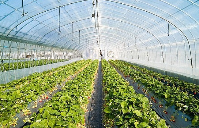 اجراءات لازم تتبعها للحفاظ علي الزراعات تحت الصوب قبل بدء موجة الطقس غدا