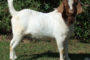 تأسيس أول جمعية حيوانية لحماية ورعاية الخرفان البرقي وماعز البور