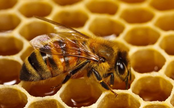 د أحمد جلال يكتب: تاريخ النحل والعسل فى مصر القديمة (الجزء الثاني)