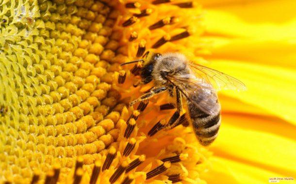 عاجل... الحكومة تحظر إستخدام مبيدات حشرية تهدد النحل المصري