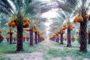 بدء إجراءات إنشاء أكبر مزرعة للنخيل في العالم بالوادي الجديد