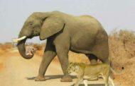 حكاية صورة... عندما يعيش الفيل والاسد في عائلة مشتركة