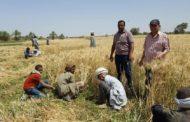 قبل بدء موسم التوريد...توصيات لمزارعي القمح قبل الحصاد